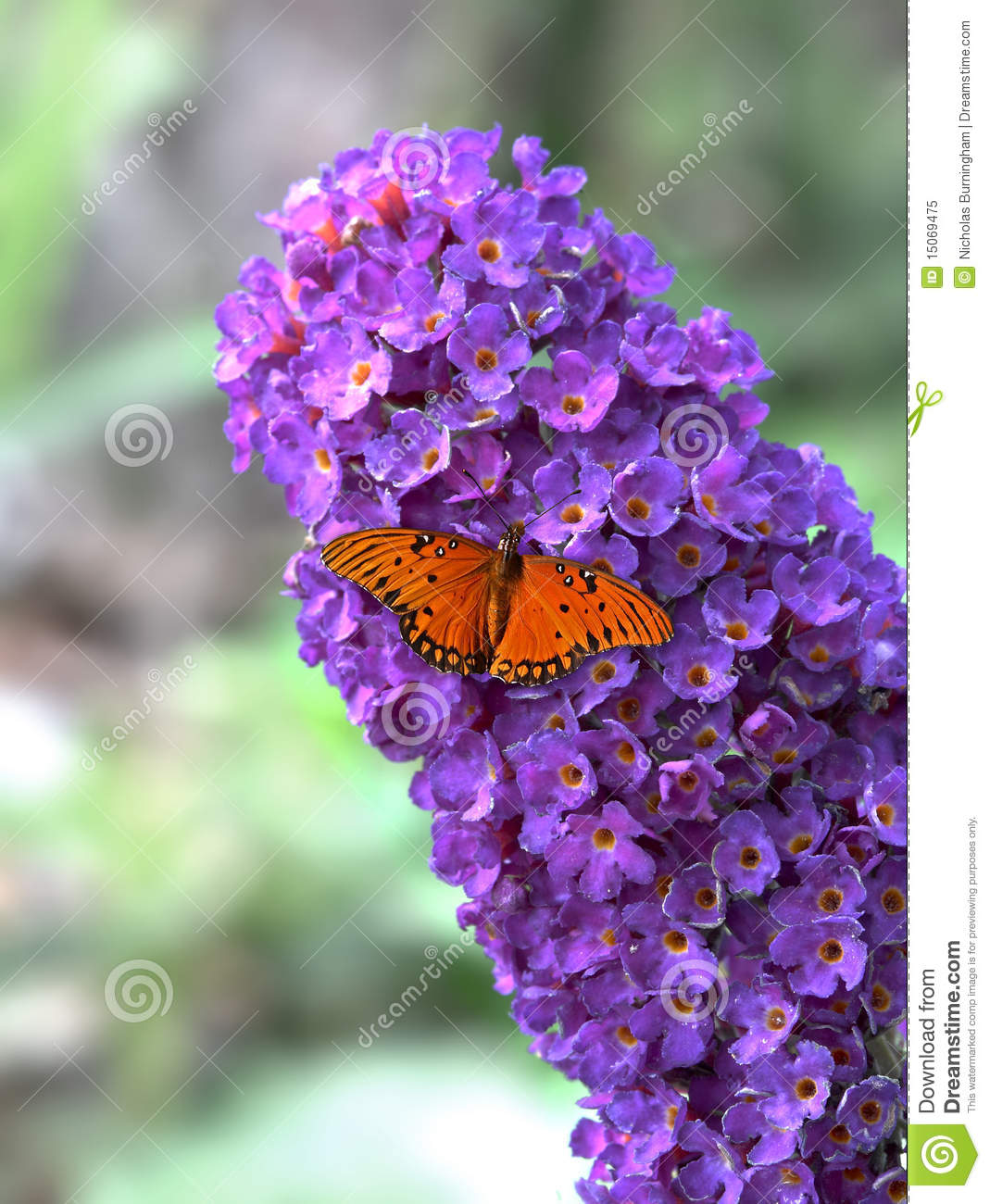 Buddleia With Butterfly.