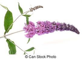 Buddleia Images and Stock Photos. 328 Buddleia photography and.