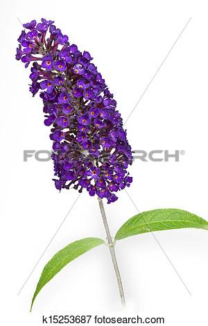 Butterfly bush clipart.