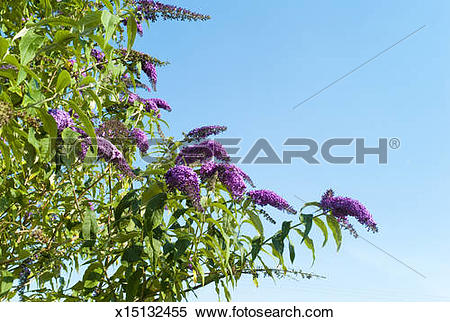 Stock Image of Buddleia against blue sky. x15132455.