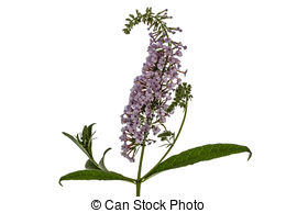 Buddleja davidii Clip Art and Stock Illustrations. 4 Buddleja.