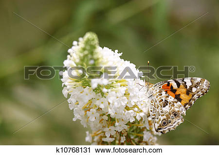 Stock Photography of The underside view of a Painted Lady (Vanessa.
