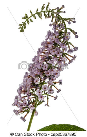 Stock Illustration of Flowers of Buddleja, lat. Buddleja davidii.
