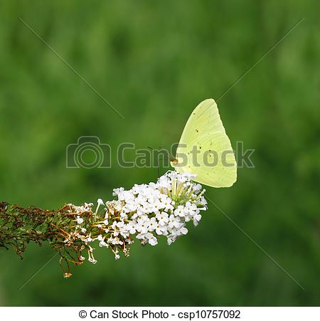 Stock Photographs of A Cloudless Sulphur (Phoebis sennae) on the.
