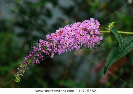 Buddleia Davidii Stock Photos, Royalty.