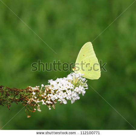 Butterfly Bush Stock Photos, Royalty.