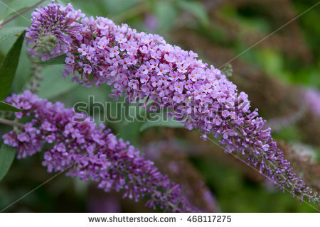 Buddleja Davidii Stock Photos, Royalty.