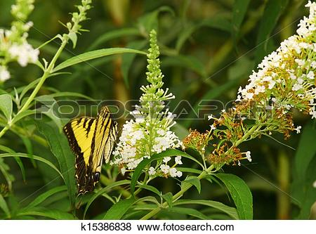 Pictures of An Eastern Tiger Swallowtail Butterfly on a white.