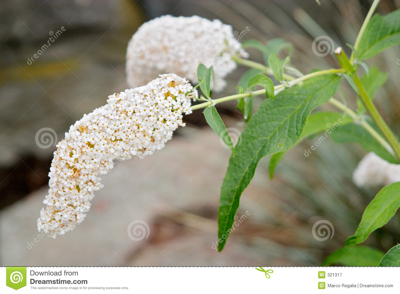 Buddleja Davidii White Profusion Royalty Free Stock Photography.