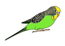 Budgie Stock Illustrations.