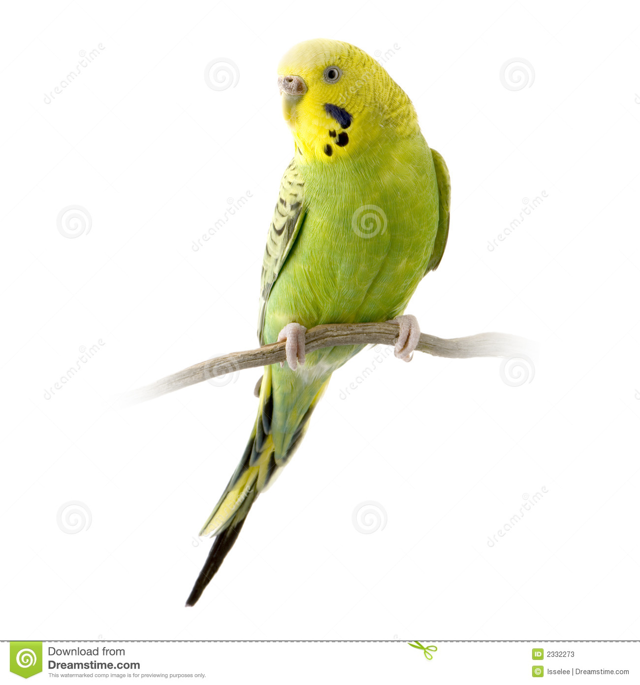 Cute Budgie Parakeet Stock Photos, Images, & Pictures.