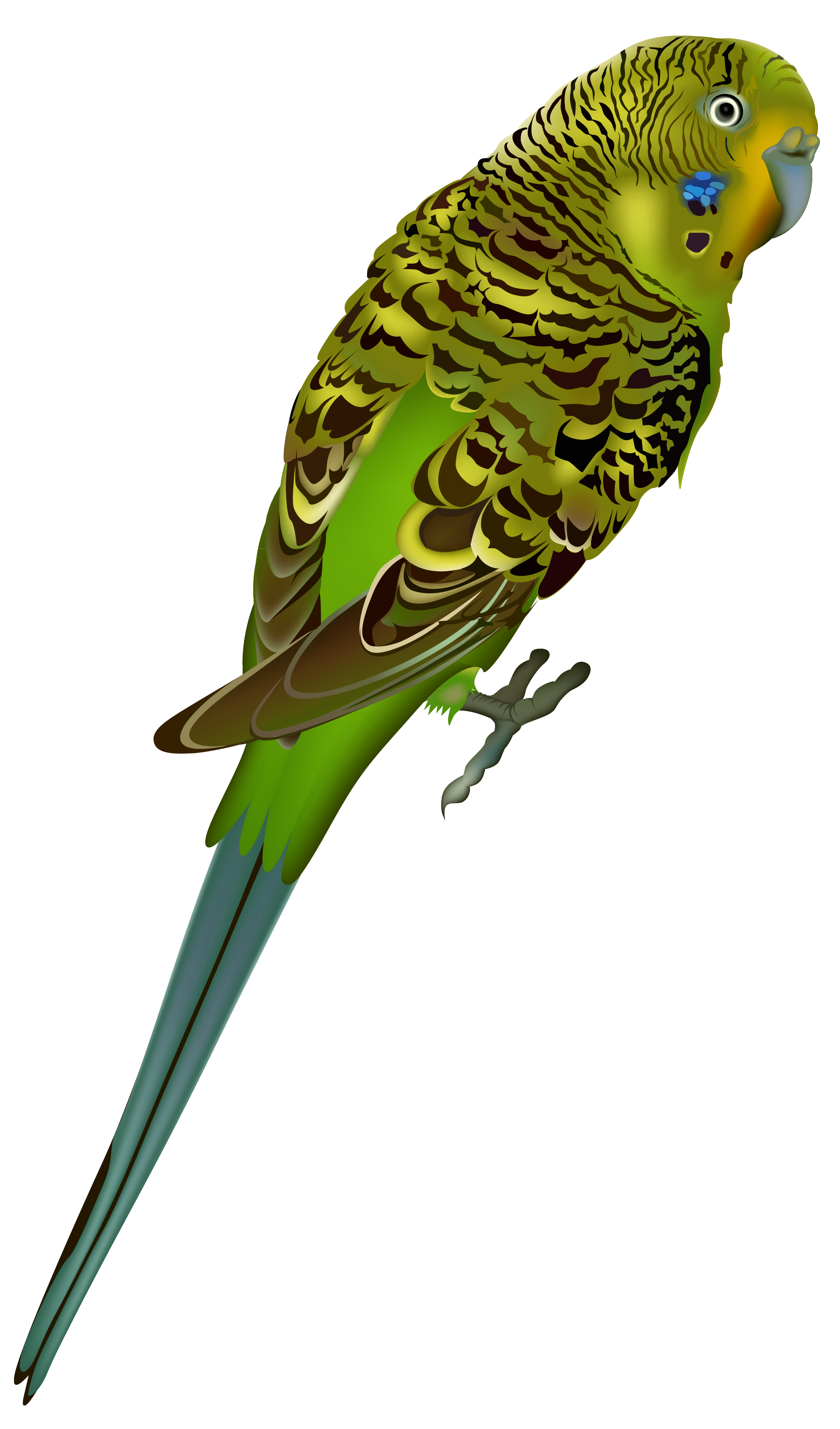 Budgerigar clipart - Clipground