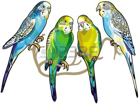 142 Budgerigar Cliparts, Stock Vector And Royalty Free Budgerigar.