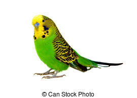 Budgerigar Images and Stock Photos. 975 Budgerigar photography and.