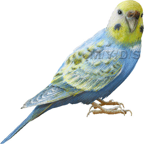 Budgerigar, Common Pet Parakeet, Budgie clipart graphics (Free.