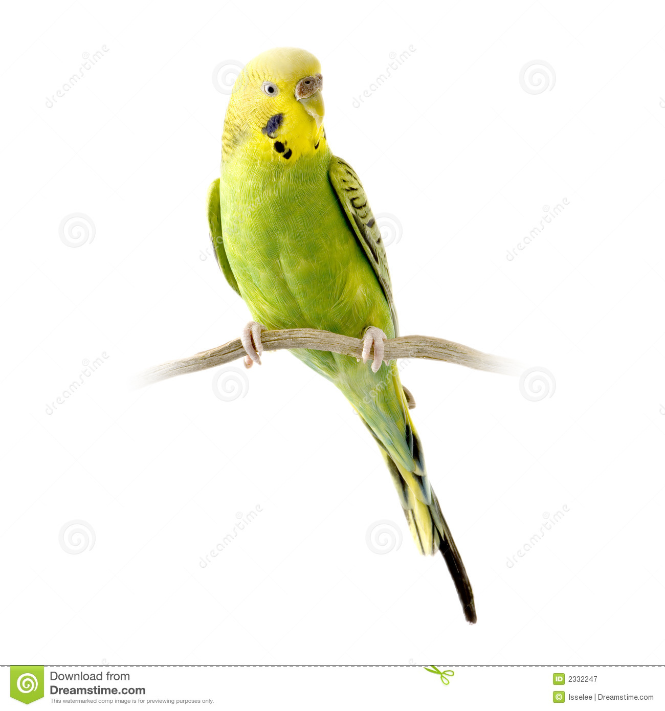 Yellow And Green Budgie Royalty Free Stock Photography.
