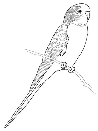 Click to see printable version of Budgerigar Parrot coloring page.