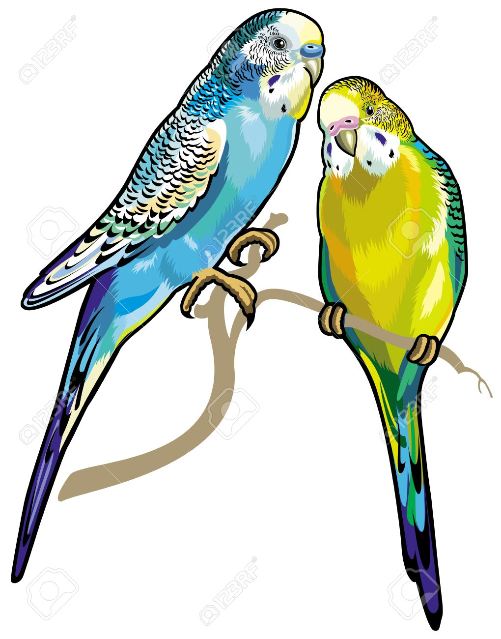 Budgerigars Australian Parakeets Isolated On White Background.