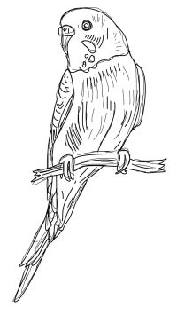 Budgie Clipart.