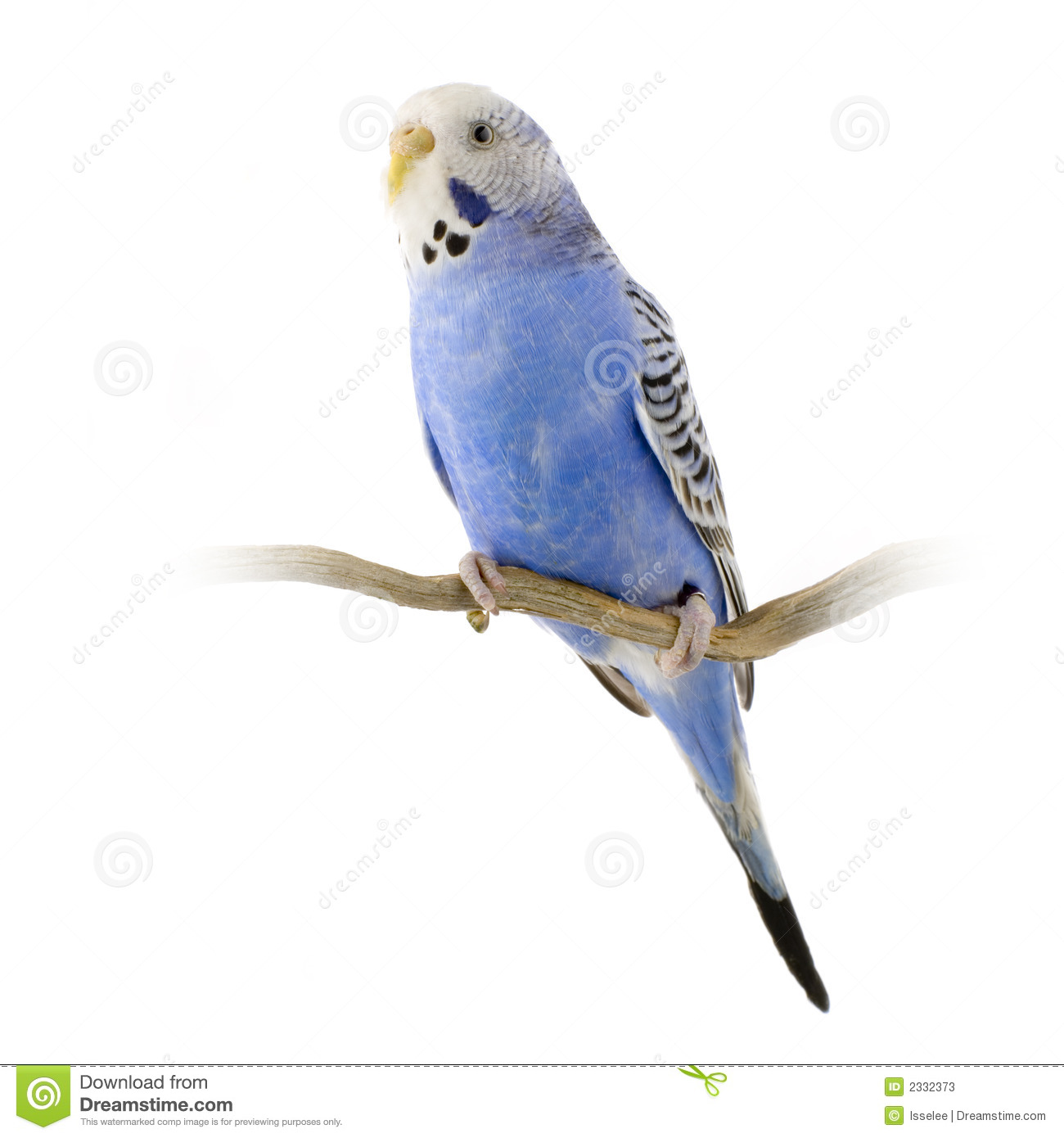 White Budgie Parakeet Stock Photography.