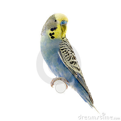 Little Budgie Parrot Royalty Free Stock Photography.