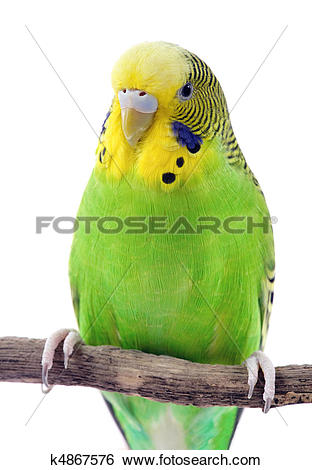 Stock Images of Green and yellow budgie k4867576.
