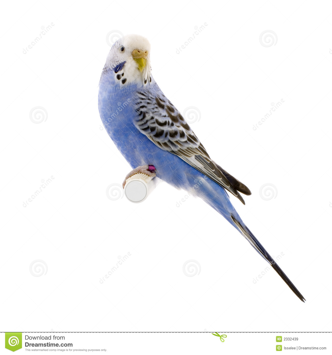 Blue And White Budgie Stock Image.