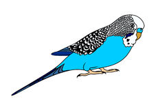 Blue Budgie Stock Illustrations.