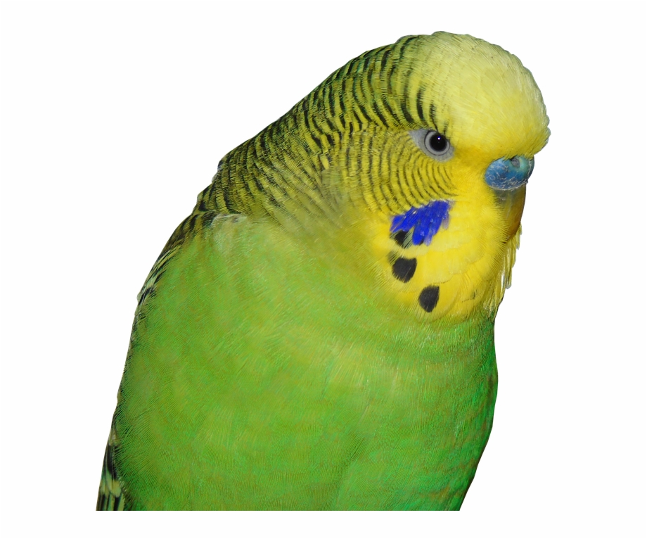 Budgie Bird Animal World Small Bird Parakeet Green.