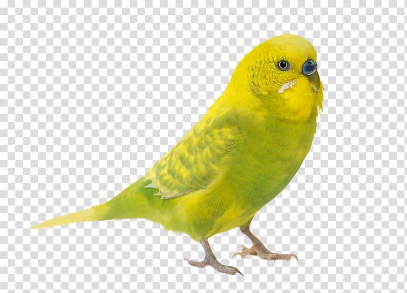 Budgerigar Parrot Bird Jaguarundi Parakeet, wild animals transparent.