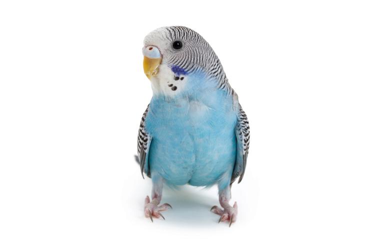 Parakeet Behavior and Sounds.