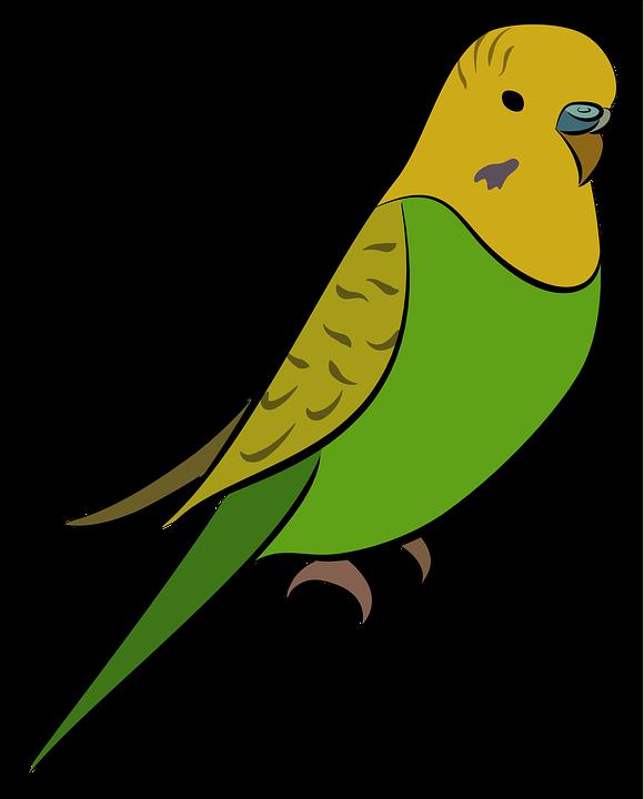 Budgie Parakeet Bird.