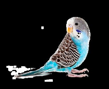 Bird,Vertebrate,Budgie,Parakeet,Parrot,Beak,Turquoise,Feather,Wing.