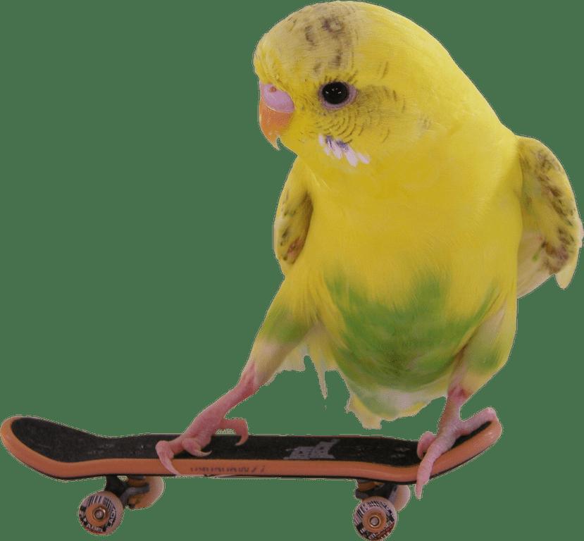 Skateboarding Budgie Transparent PNG Image #223.
