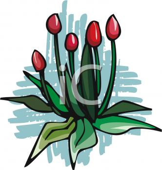 Tulip Buds.