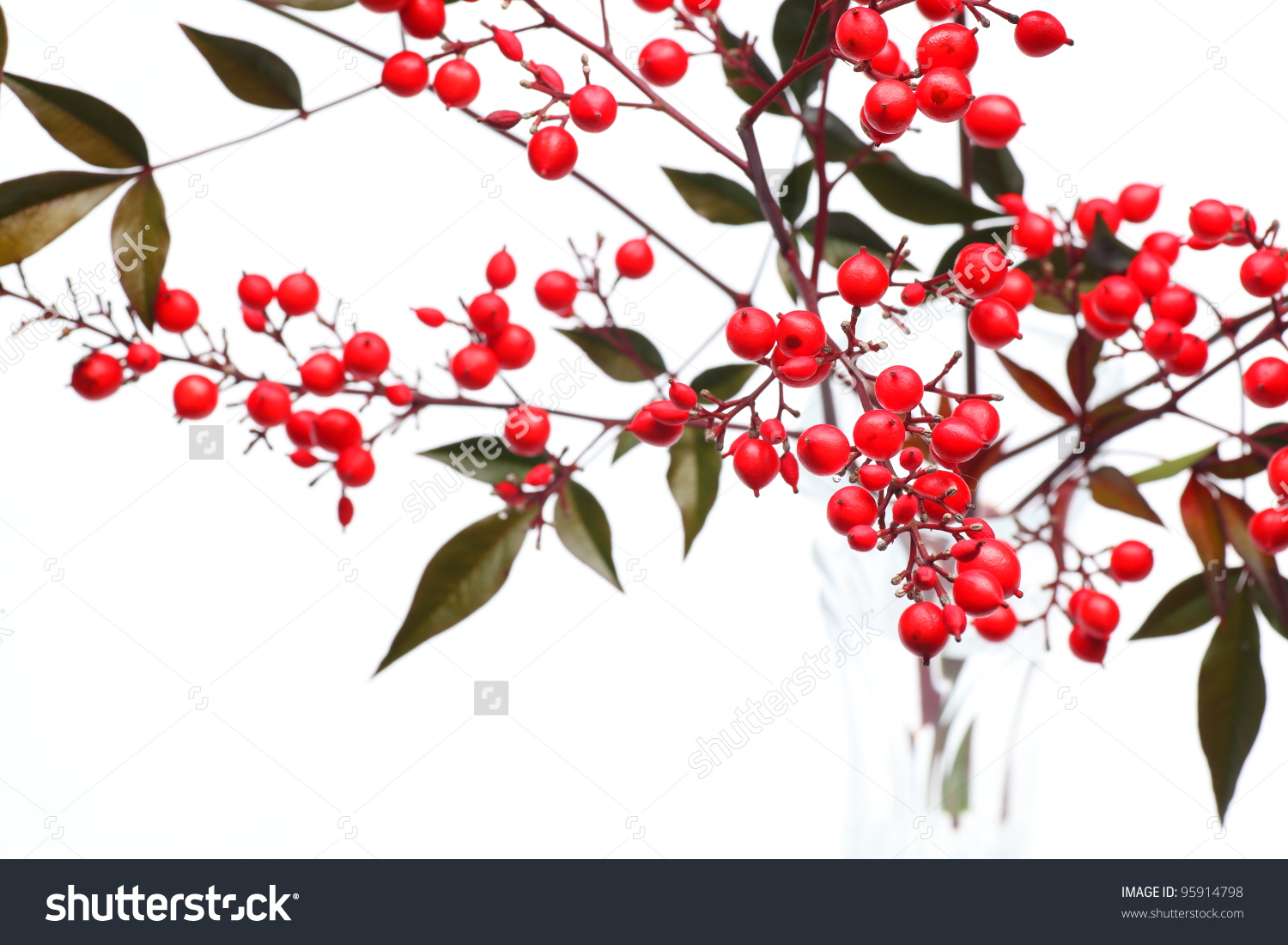 Nandina Domestica Red Berries Japanese Sacred Stock Photo 95914798.