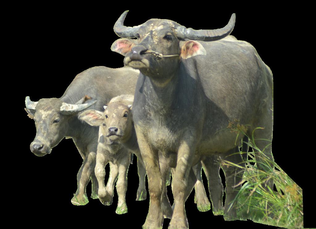 Download Buffalo PNG Image.