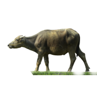 Download Buffalo Free PNG photo images and clipart.