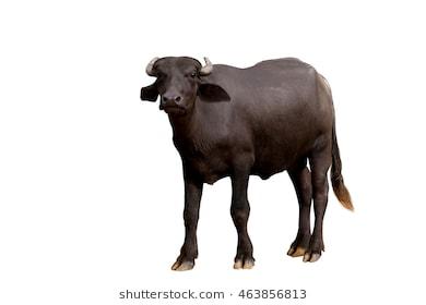 Murrah Buffalo On White Background And C #75124.