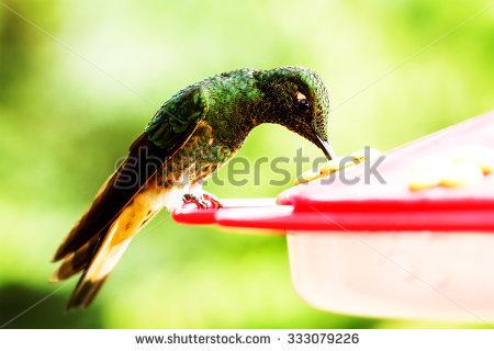 """""""collared_hummingbird"""" Stock Photos, Royalty."""