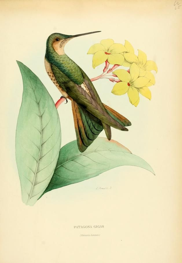 1000+ images about Hummingbirds: Natural History on Pinterest.