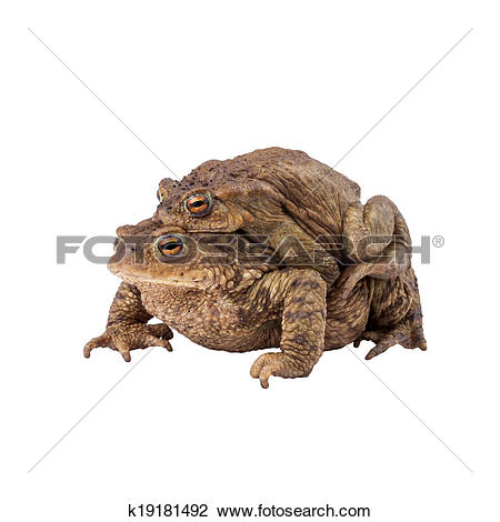 Stock Photo of Common toad or european toad (Bufo bufo), Amplexus.