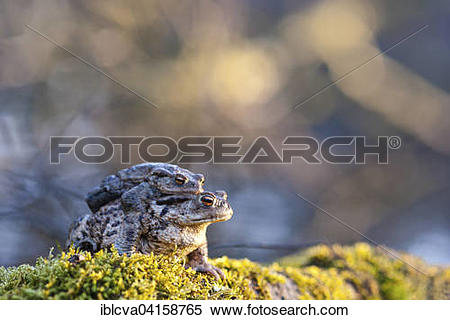 Stock Image of Common toads (Bufo bufo), couple in axillary.