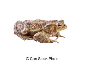 Picture of Mating Common Toads (Bufo bufo) in amplexus while.