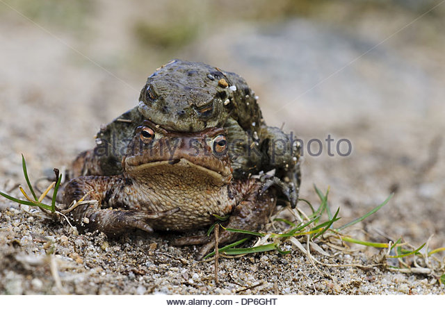 Toad Female Female Stock Photos & Toad Female Female Stock Images.
