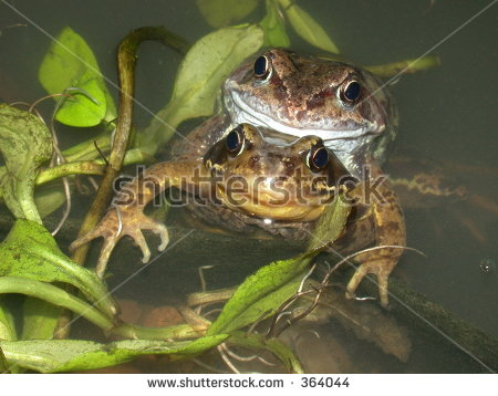 Frogs Mating Stock Photos, Royalty.