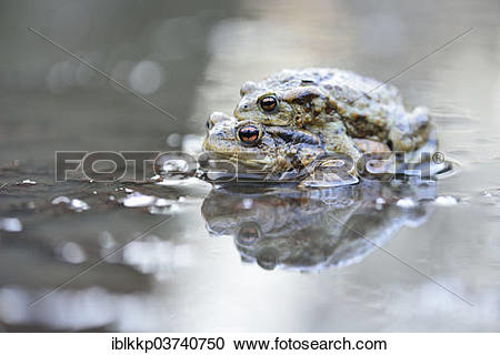 "Stock Photography of ""Common Toads or European Toads (Bufo bufo."