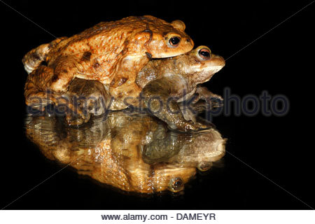 Common Toads Stock Photos & Common Toads Stock Images.