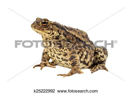 Stock Photo of Common toad on white k25222992.