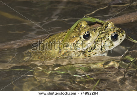 Western Toad Stock Photos, Royalty.